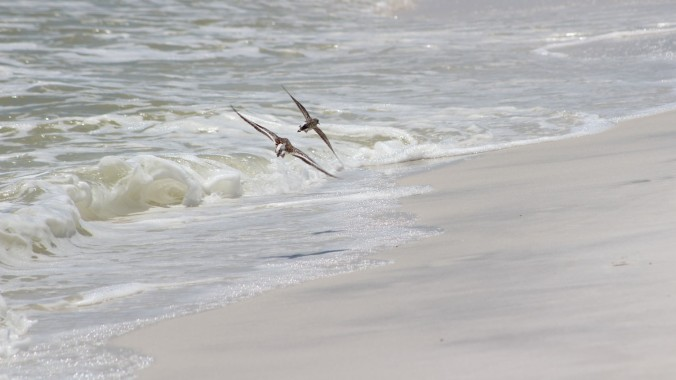 widescreen Sandpipers Flying (1)