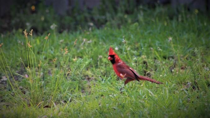 Cardinal (12)