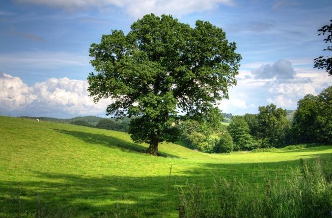 oak tree 2