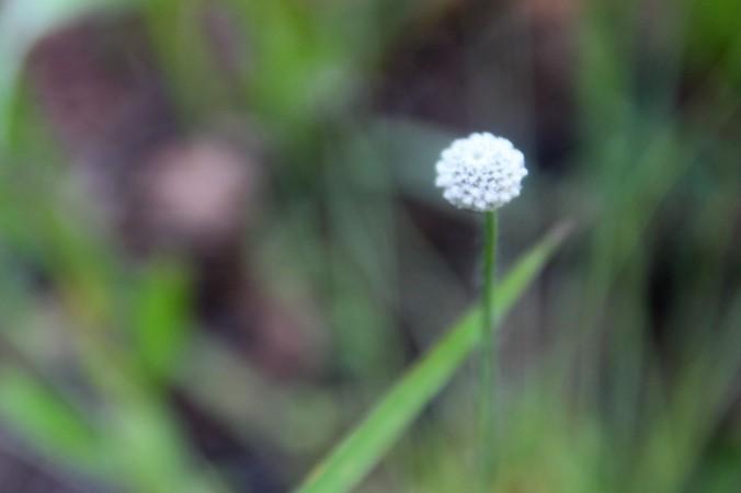 WF White fuzzy flower (6)