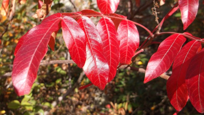 Blood red leaves