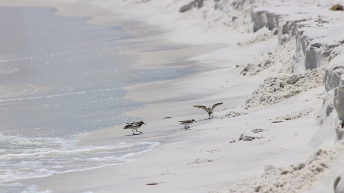 birds-at-pensacola-beach