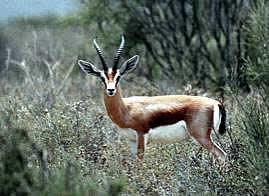 Dorcas gazelle 02