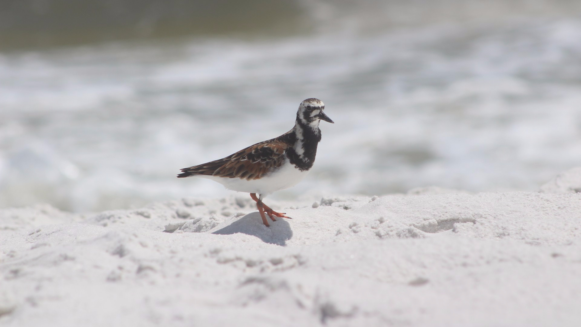 shore-bird-florida