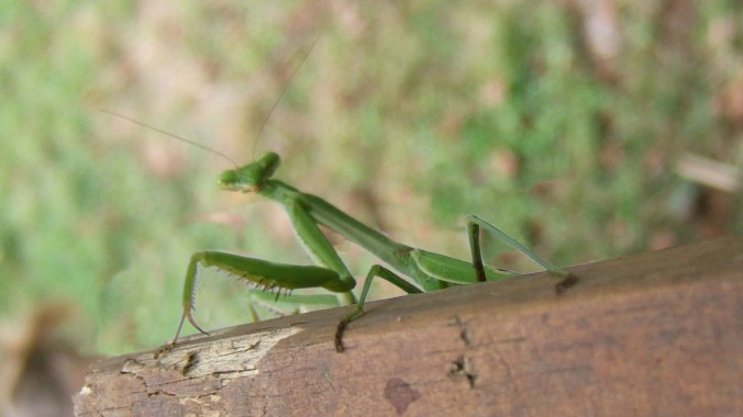Prayer mantis