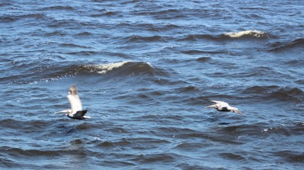 Waterfowl 16