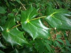 2 -- Notice how the leaves grow in pairs.