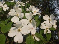 4 -- The dogwood is uncommon with its four petals.
