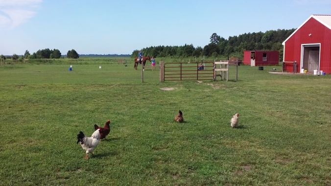 chickens-and-riding-lesson