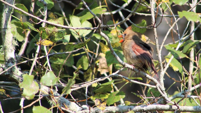 female-cardinal-singing