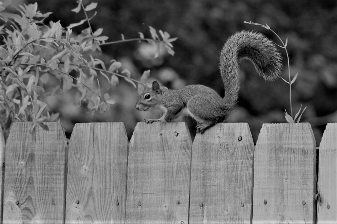 Squirrel pausing bw