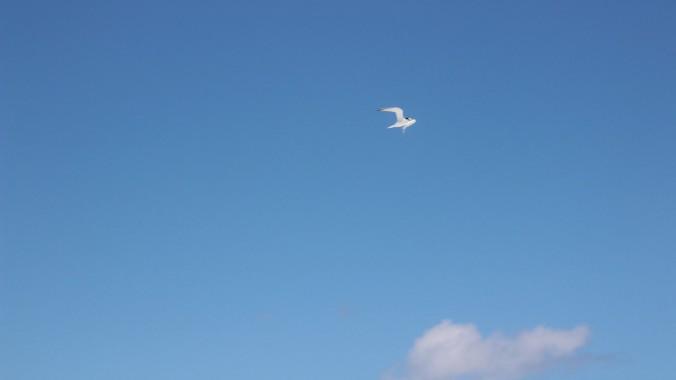 widescreen Bird in Flight (1)