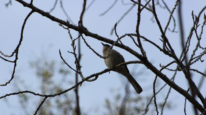 gray-bird-singing