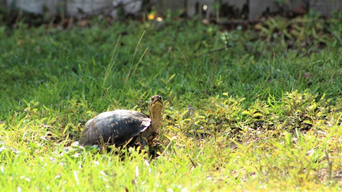 box turtle meandering through the grass