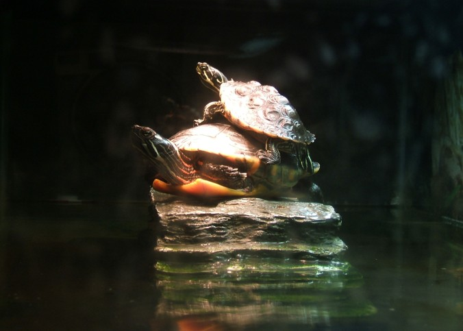 two turtles basking, one on top of the other