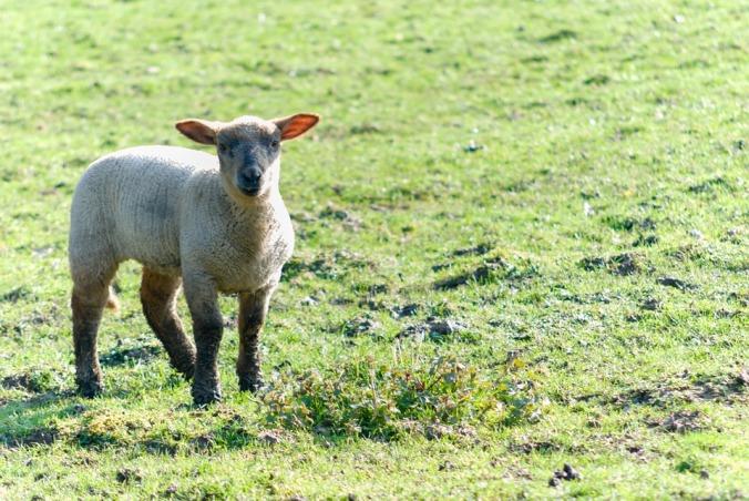 Lamb, barskefranck, Pixabay