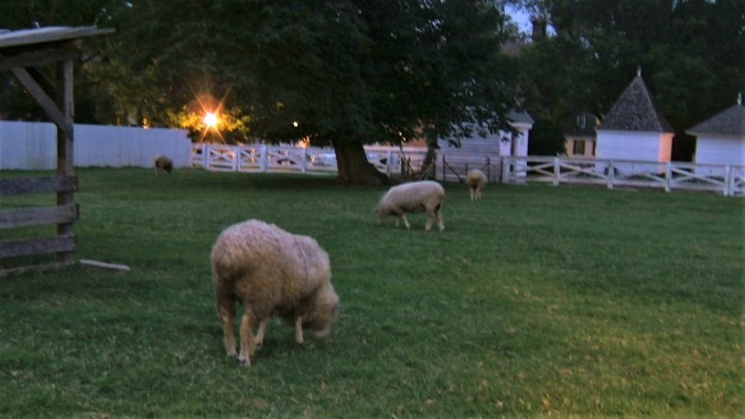 sheep grazing in the evening