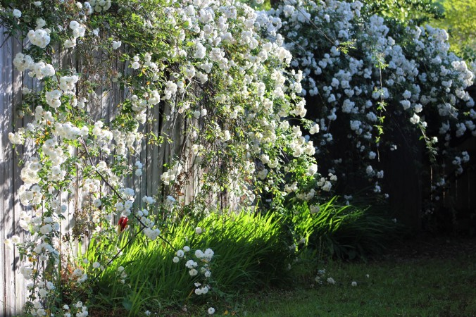 cascade of white roses falling over fence