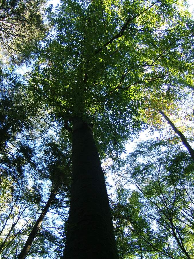 looking up into a very tall tree