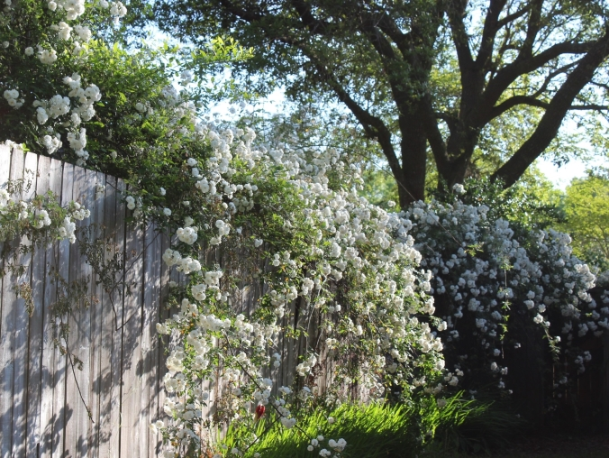 white climbing roses draped over the fence