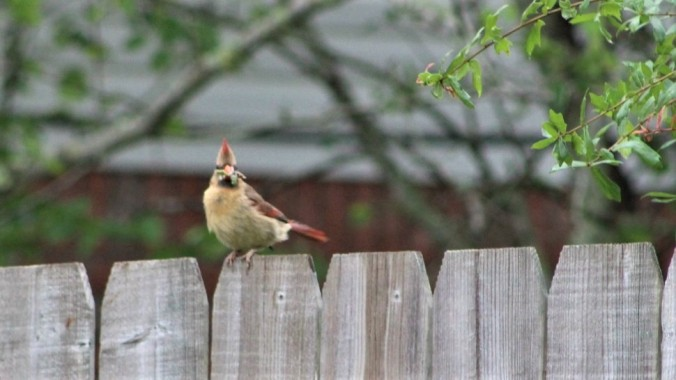Cardinal female (1a)