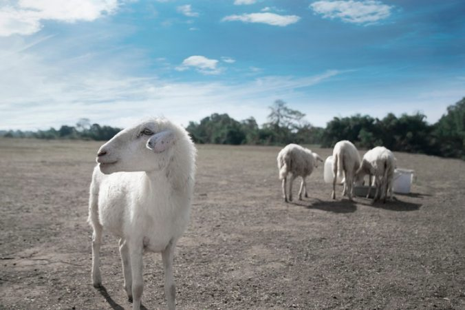 one sheep separated from others