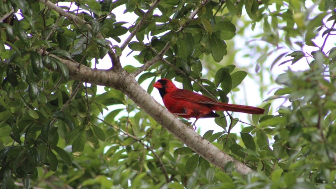 male cardinal perched in tree
